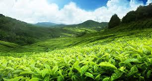 matcha_tea_field.jpg