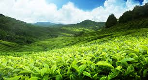 matcha_tea_field.jpg